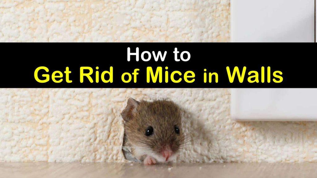 Rid of Mice In Walls